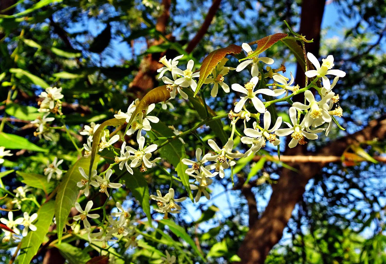 Olio di neem: proprietà, benefici e gli innumerevoli usi