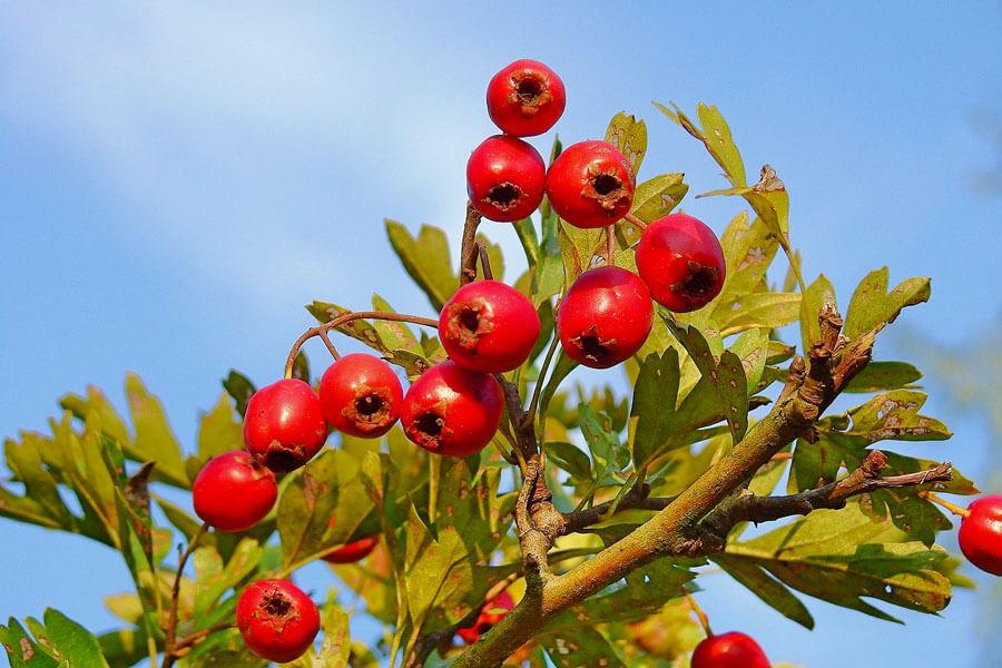 Biancospino: Gli effetti benefici della pianta del cuore